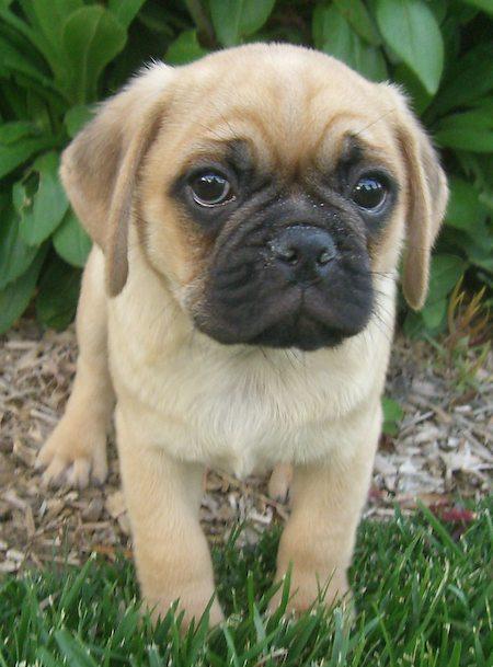 dudley_pug_beagle_puggle_03